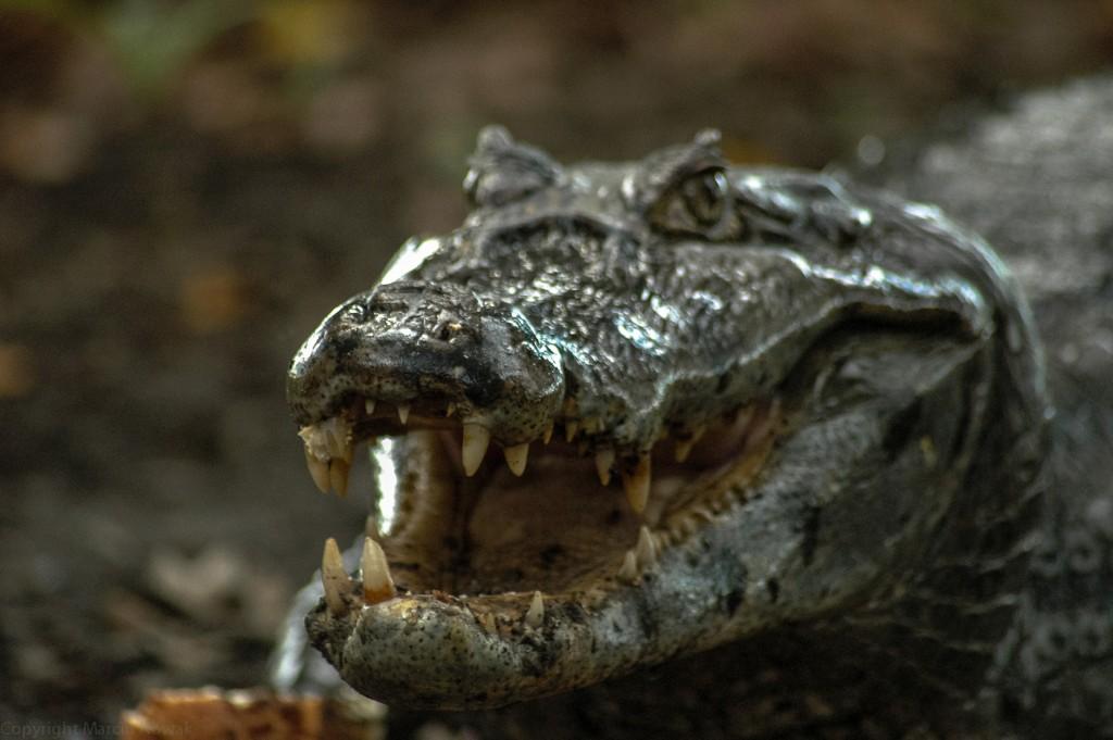 Krokodyl Jaśko