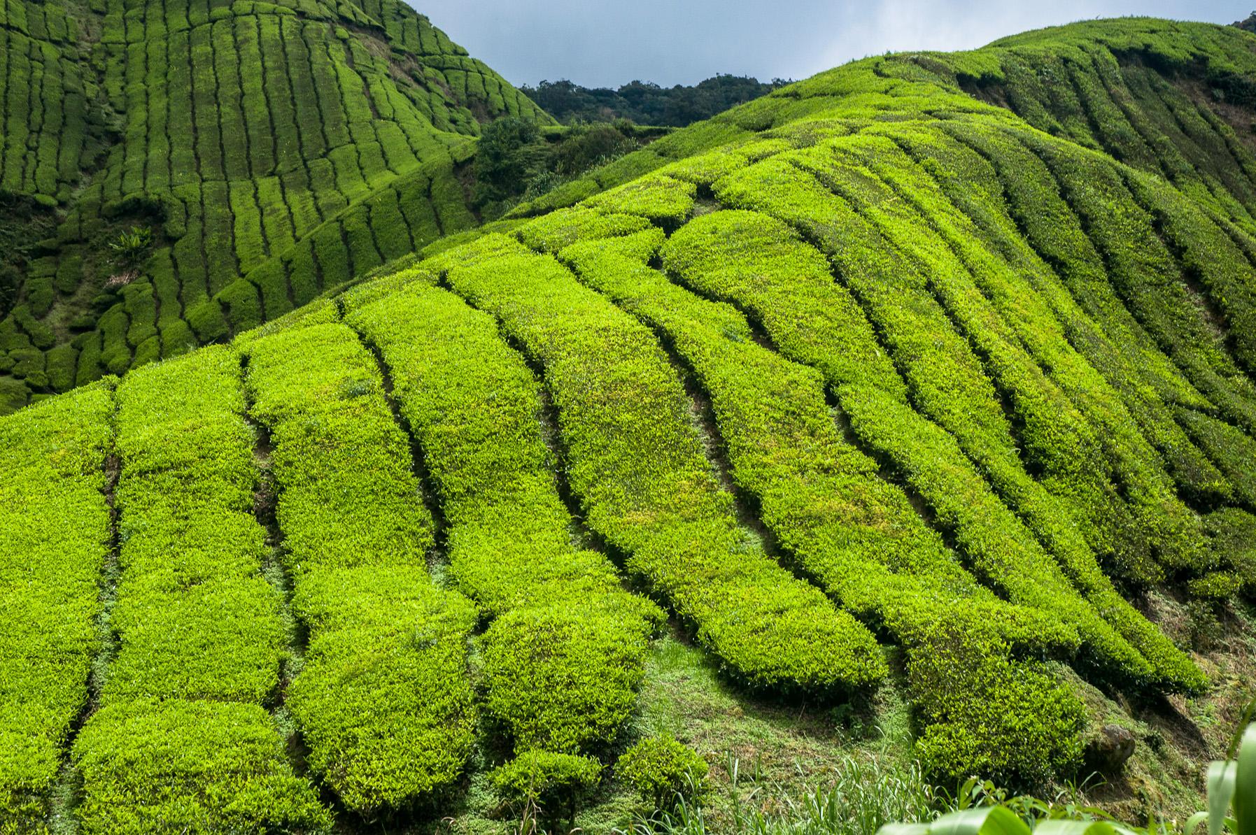 Pola herbaciane
