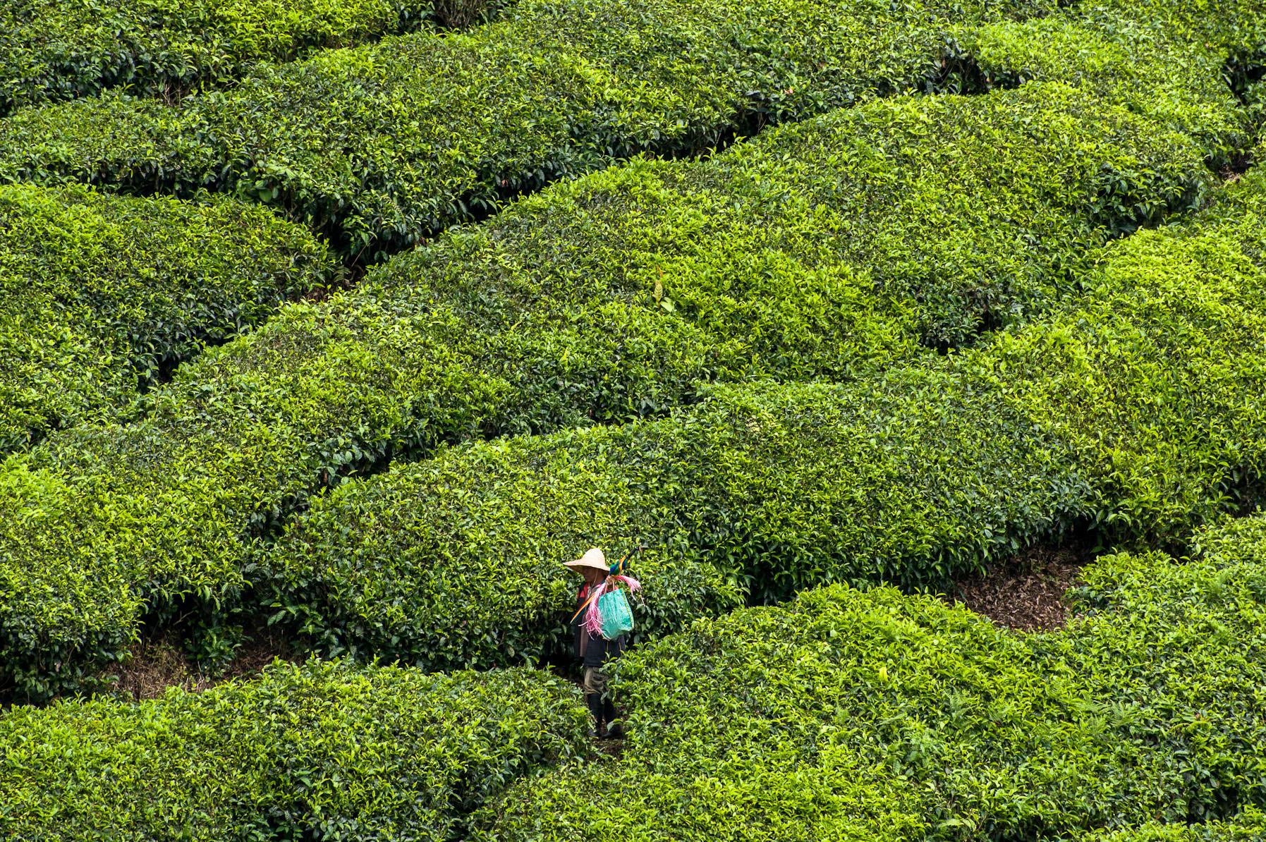 Herbaciane pole