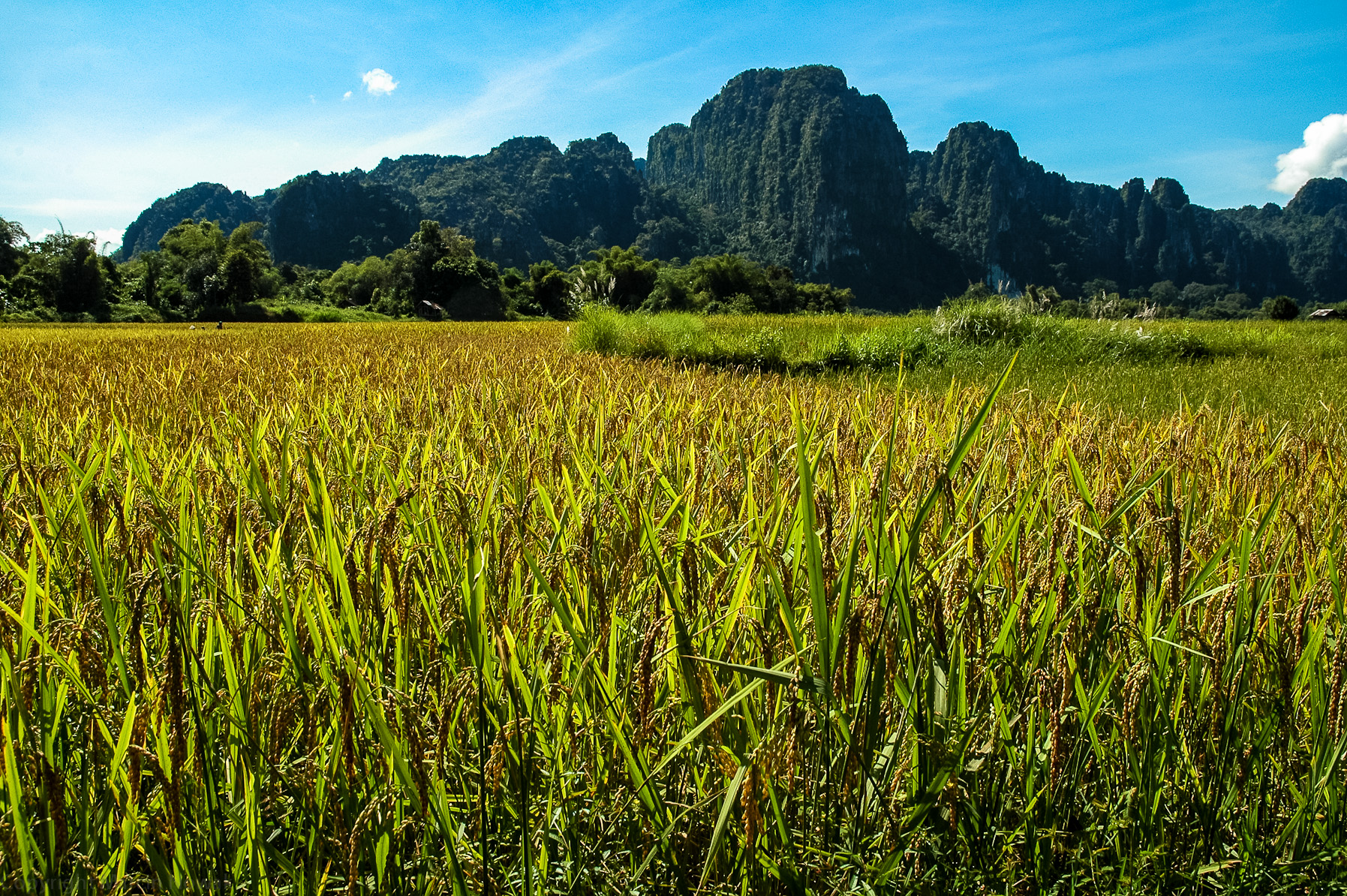 Pole ryżowe
