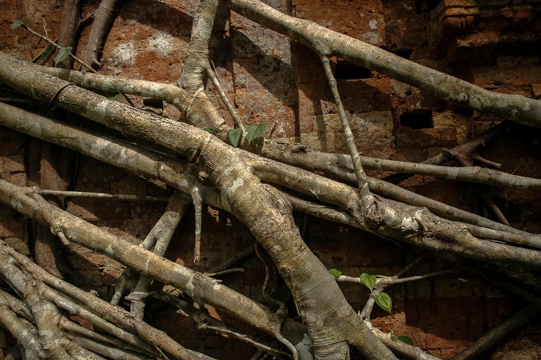 Figowiec dusiciel w Sambor Prey Kuk
