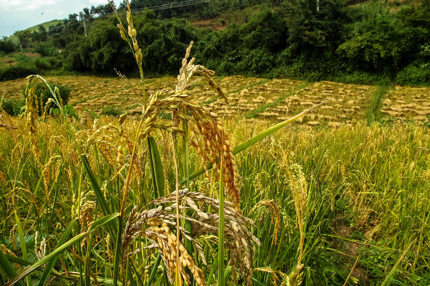 Dojrzewający ryż