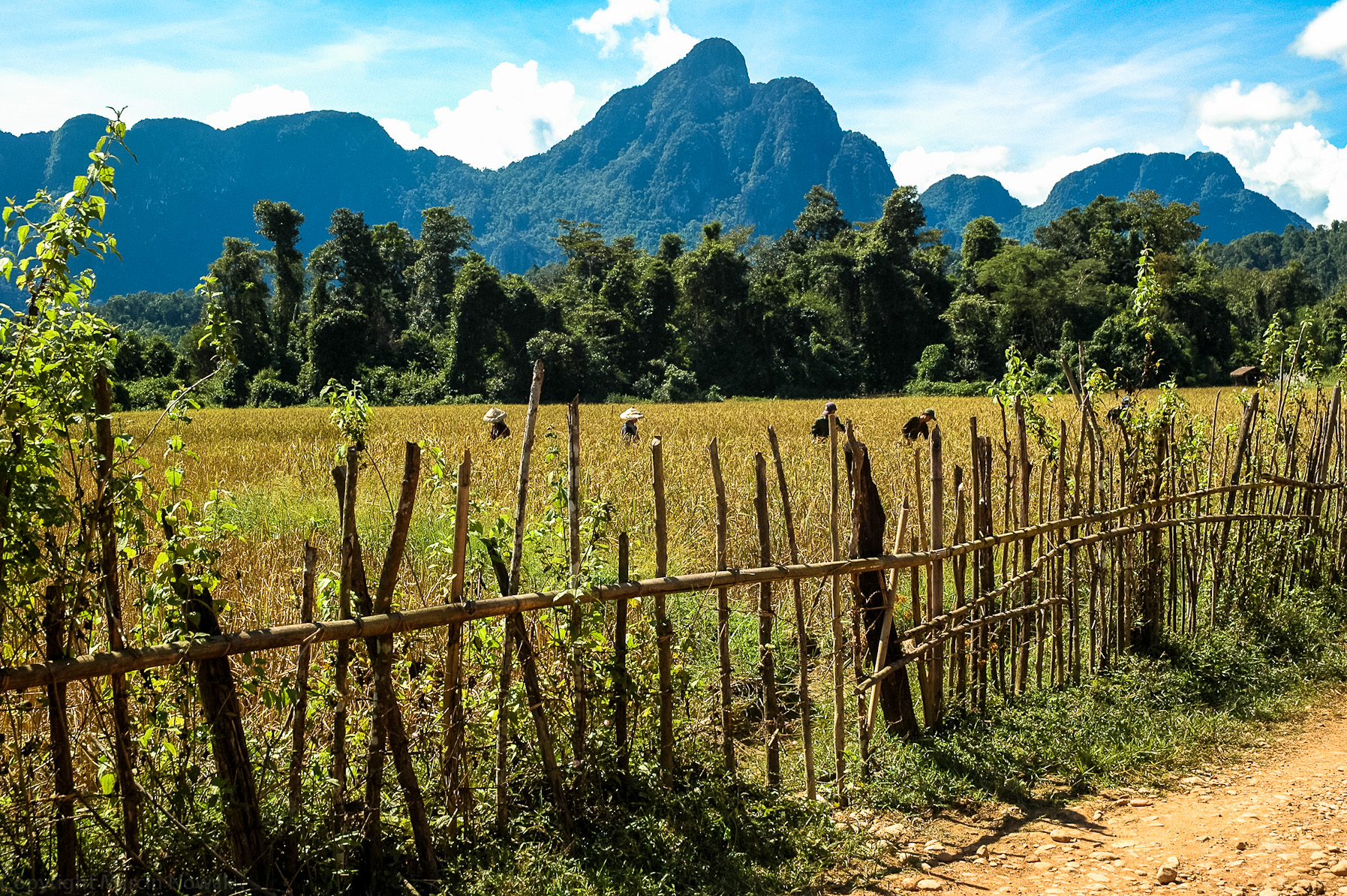 Zbiory ryżu - Laos