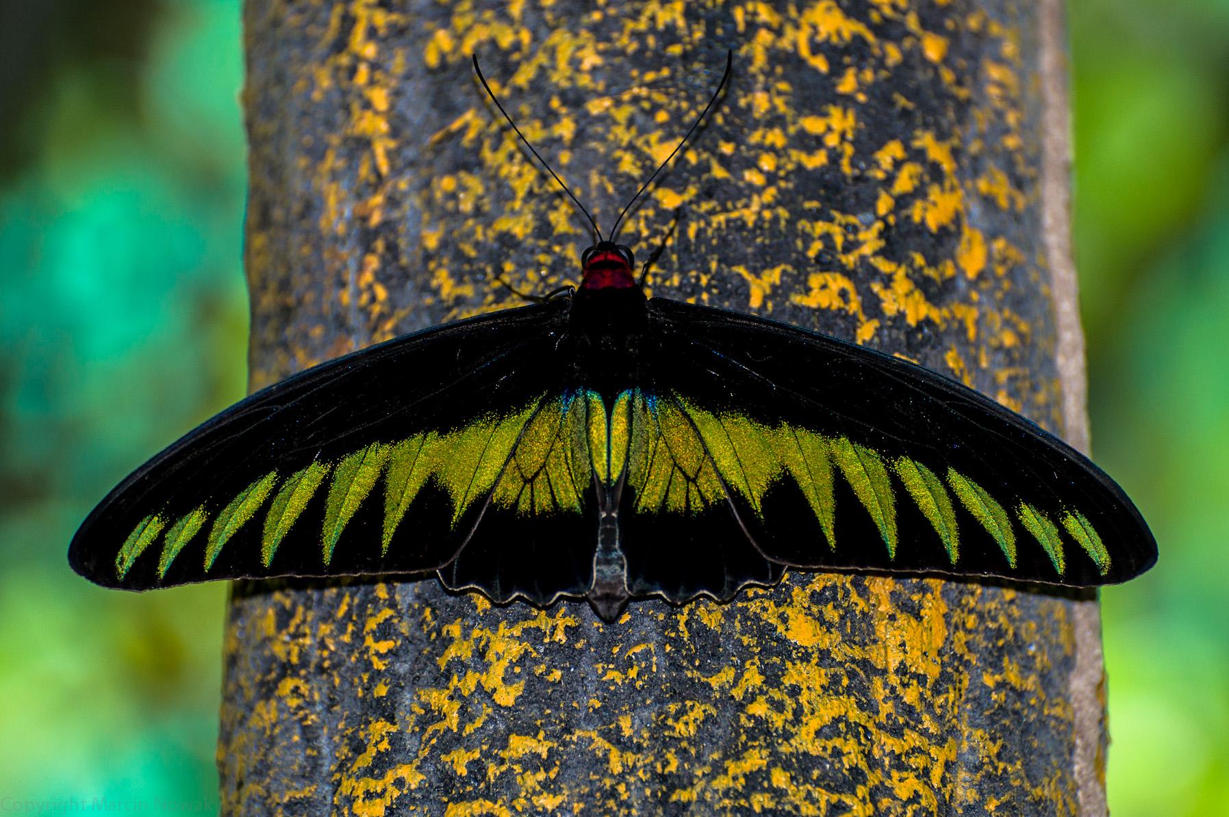 Malezyjski motyl